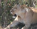 追拍非洲狮子猎杀长颈鹿
