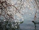 颐和园西堤拍桃花
