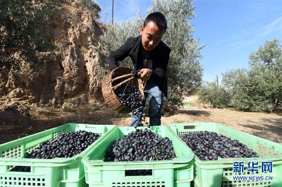 在甘肃省陇南市武都区汉王镇,一名男子将采摘的油橄榄倒入收纳箱(2018年10月30日摄)。新华社记者 范培�|