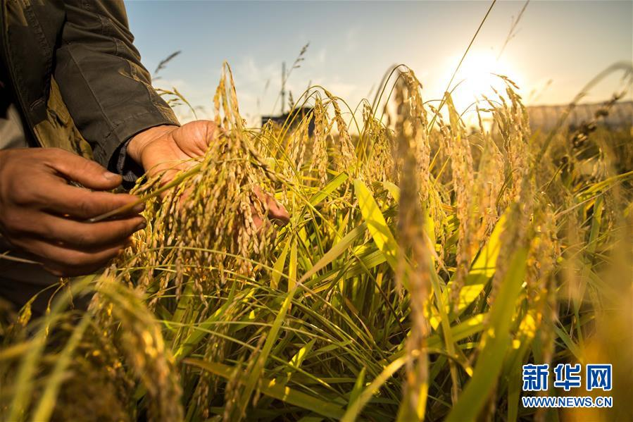 在吉林省舒兰市平安镇,农民在稻田间观察稻穗灌浆情况(2018年9月18日摄)。新华社记者 许畅