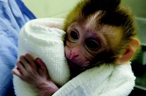 科学家用从冷冻睾丸组织样本中提取的精子令母猴怀孕并产下健康幼猴