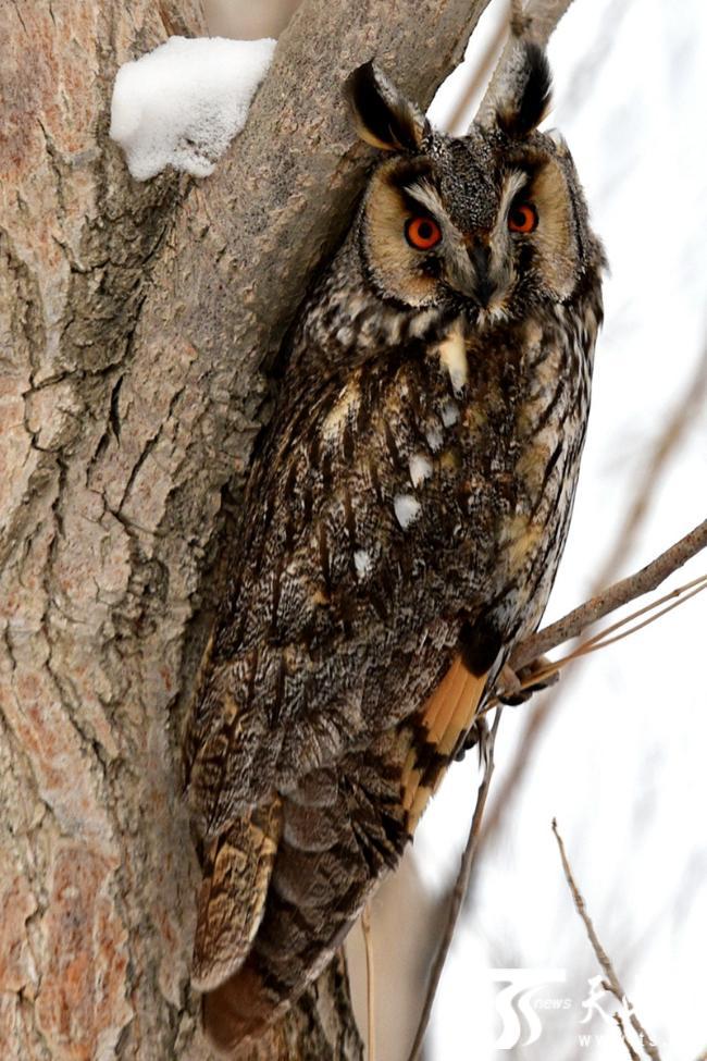 2019年2月10日,国家二级野生保护动物长耳鸮在树上停留.