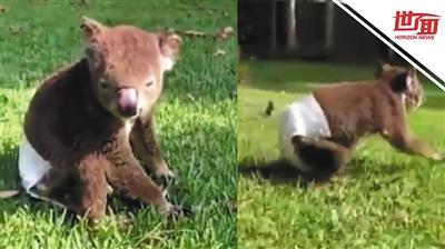 澳洲山火中受伤考拉复健 穿纸尿裤晒太阳视频走红
