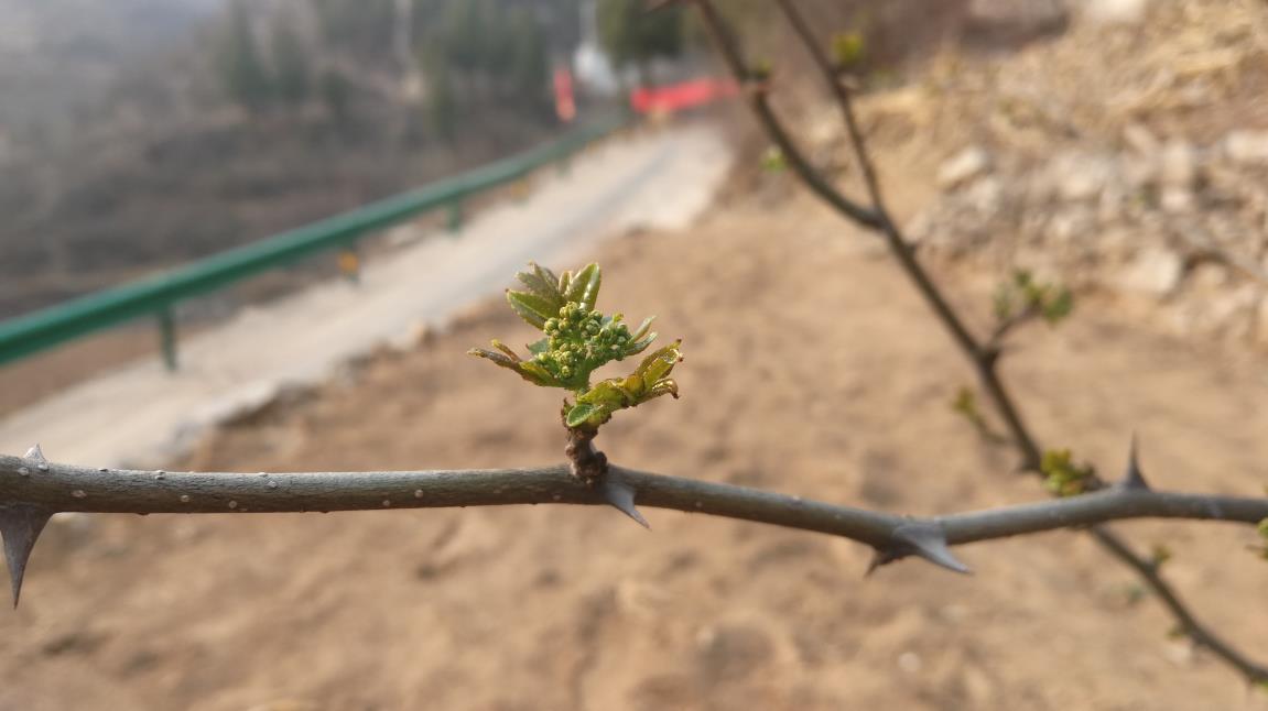井陉县向生态要经济 小花椒让荒