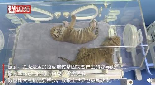 浙江湖州诞生4只小金虎,数量比大熊猫还要稀少