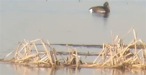 极危物种青头潜鸭首次现身云南腾冲 被喻为水中大熊猫