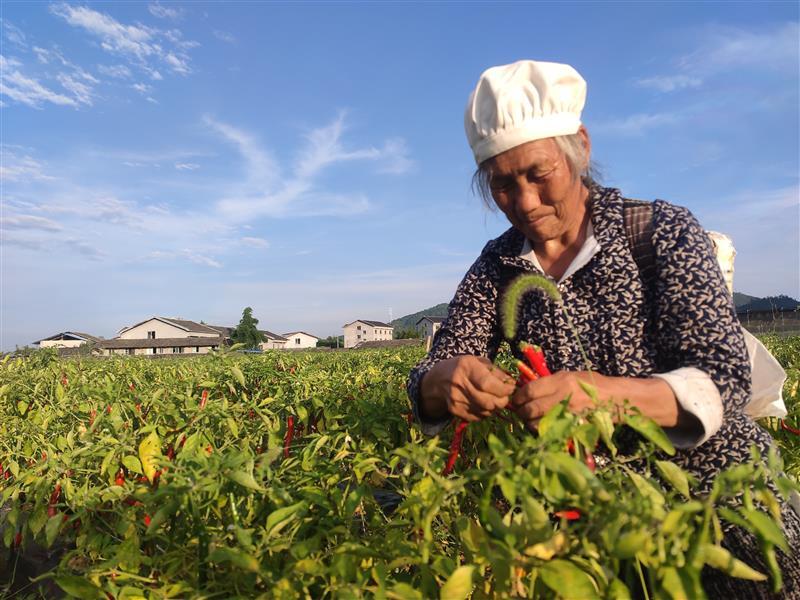 贵州:火红辣椒迎丰收