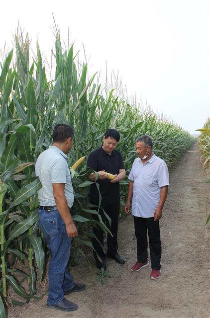"""政策好,品种优,雨水勤——""""玉米增产一两百斤没问题!"""""""